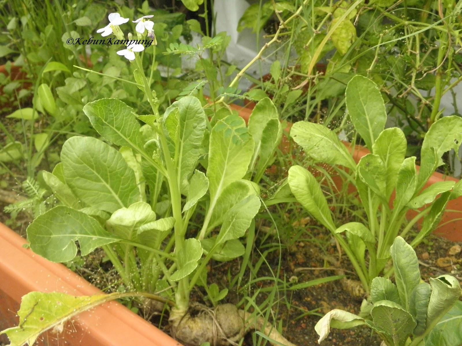 bunga lobak putih