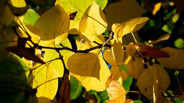 Foglie gialle in autunno. Fotografia di Giovanni Battisti