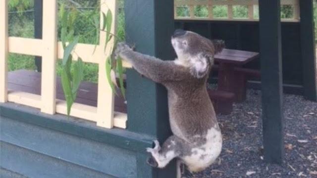 Koala anger in Australia