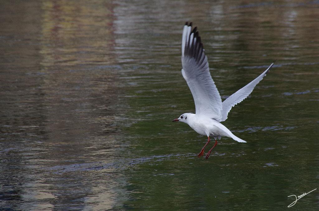 Gaviota reidora, en aguas del río Segre