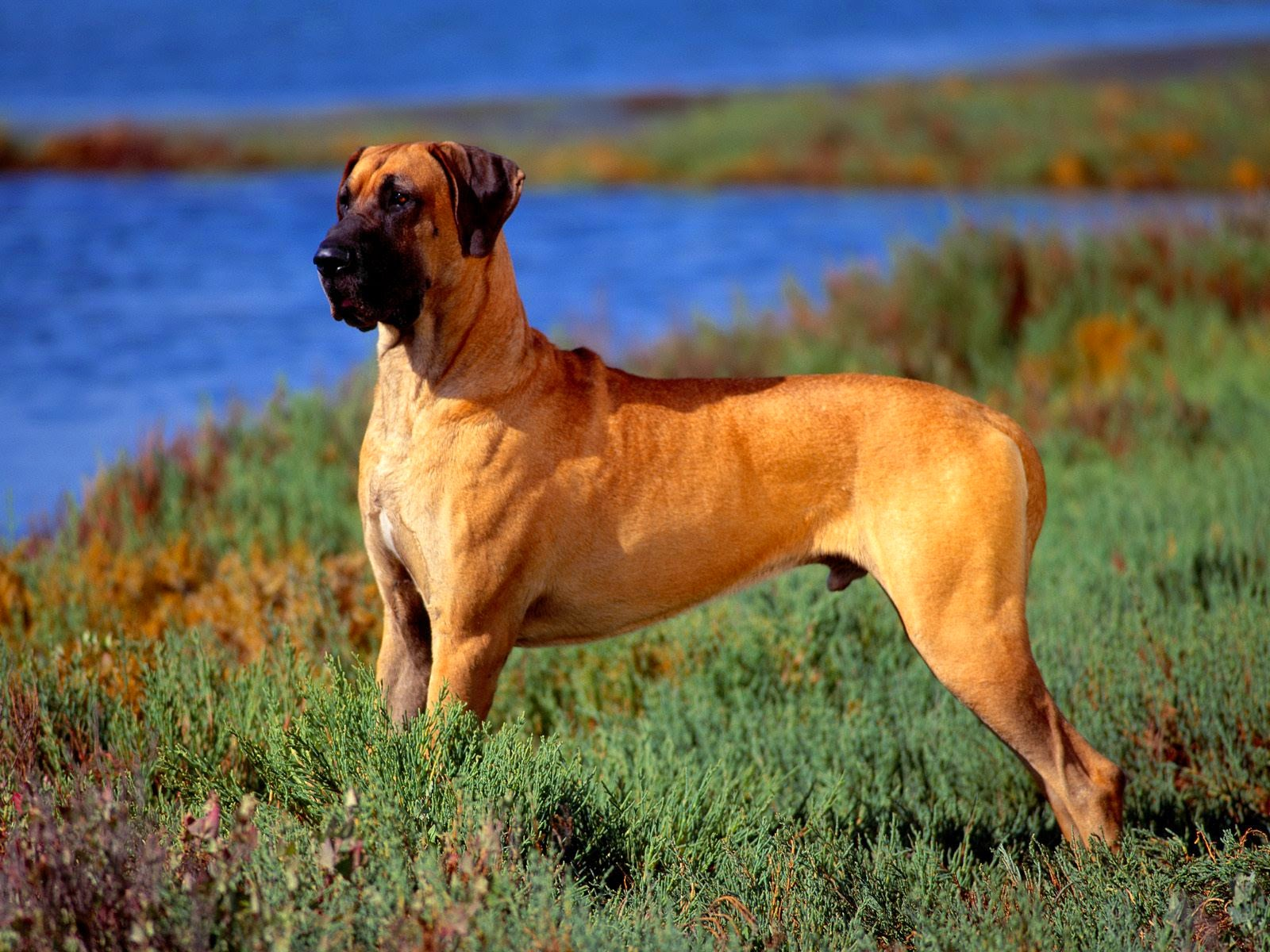 Breed Buzz  Great Dane