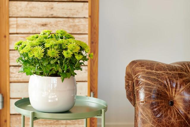 Por qué no deben faltarte Crisantemos en Septiembre