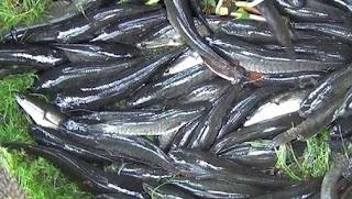 cara budidaya ikan gabus 2010,cara budidaya ikan gabus di kolam terpal,cara budidaya ikan gabus di kolam beton,pakan ikan gabus,