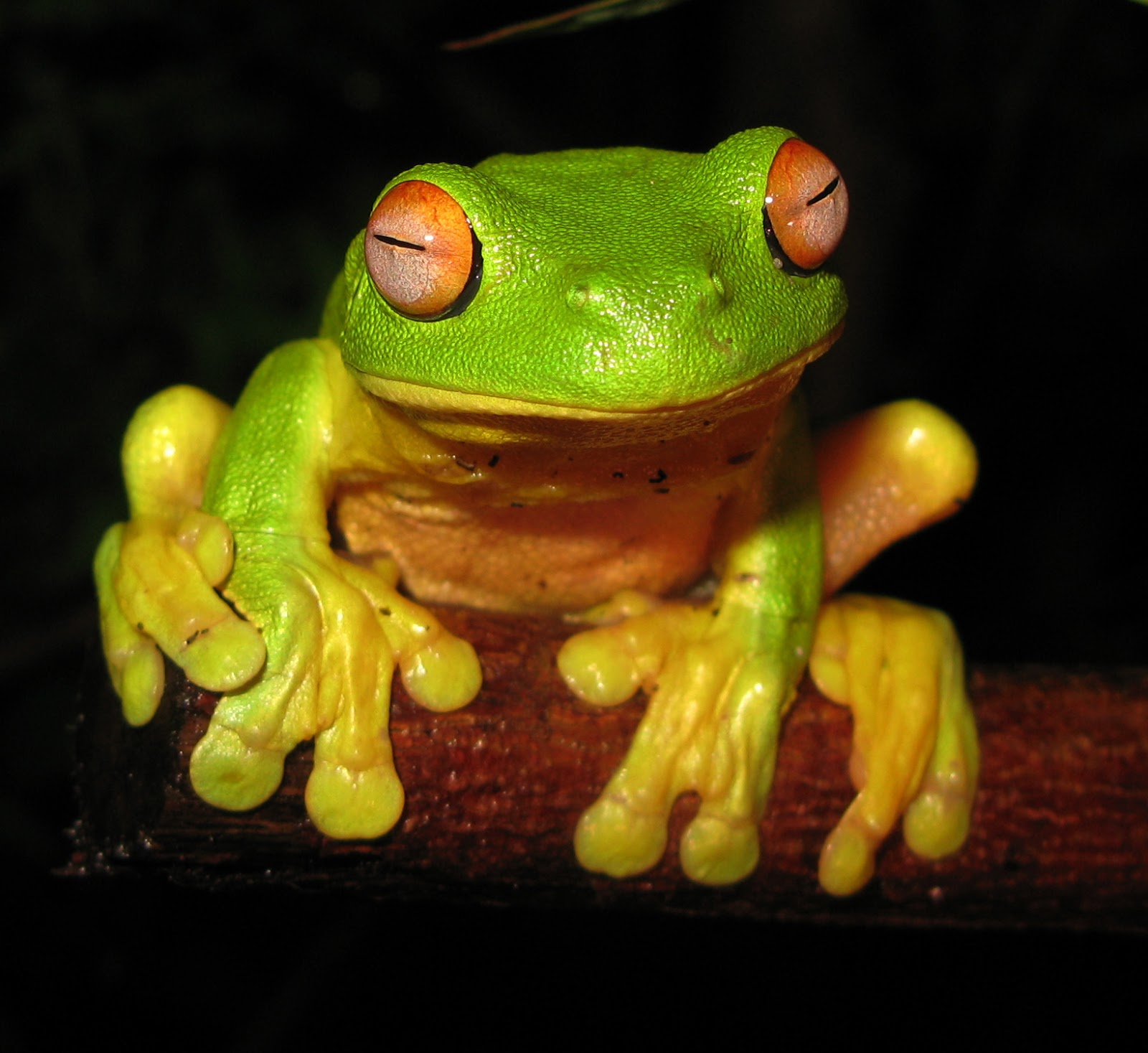 Amphibians: Red-eyed Tree Frog