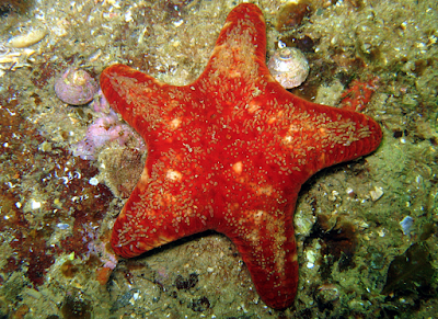 red velvet star