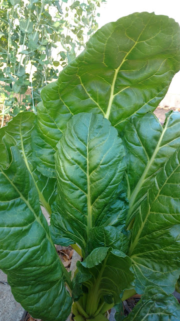 Monster Swiss Chard