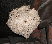 Wasp nest in Birmingham