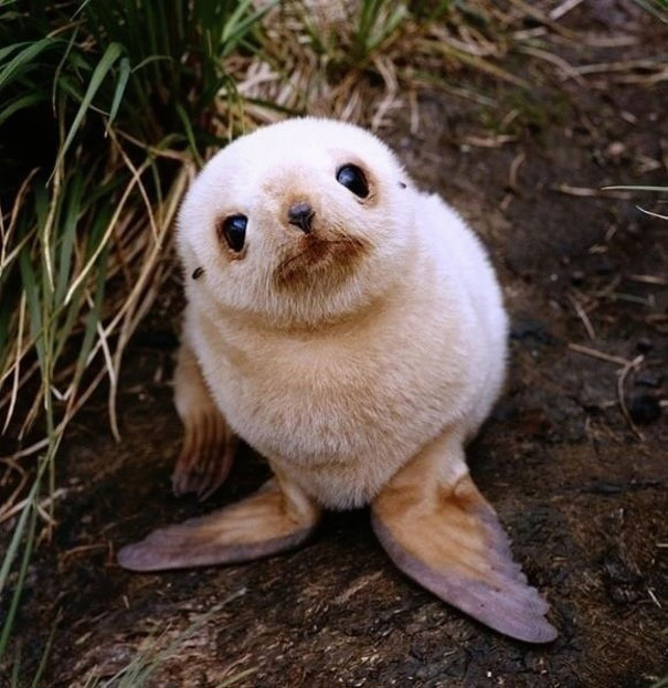 Baby Animals: Baby Seal