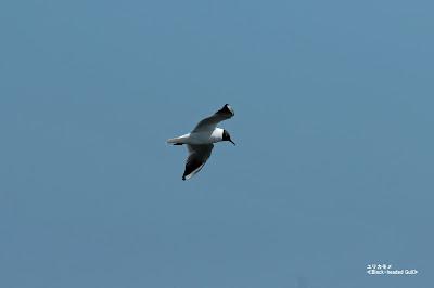 ユリカモメ ≪Black-headed Gull≫