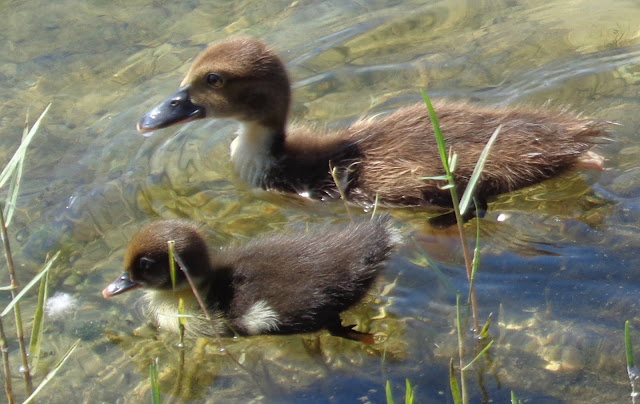 Two muscovy chicks swimming in a lake