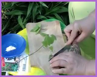 клематисы выращивание