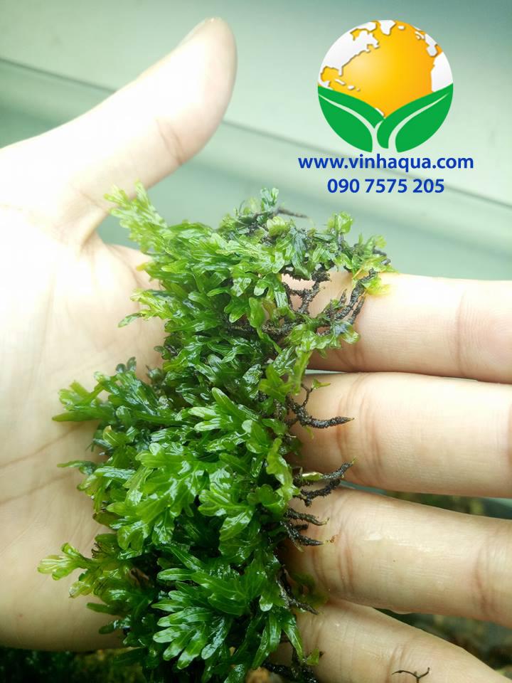 Tạp hóa thủy isnh - cây dương xỉ bàn tay