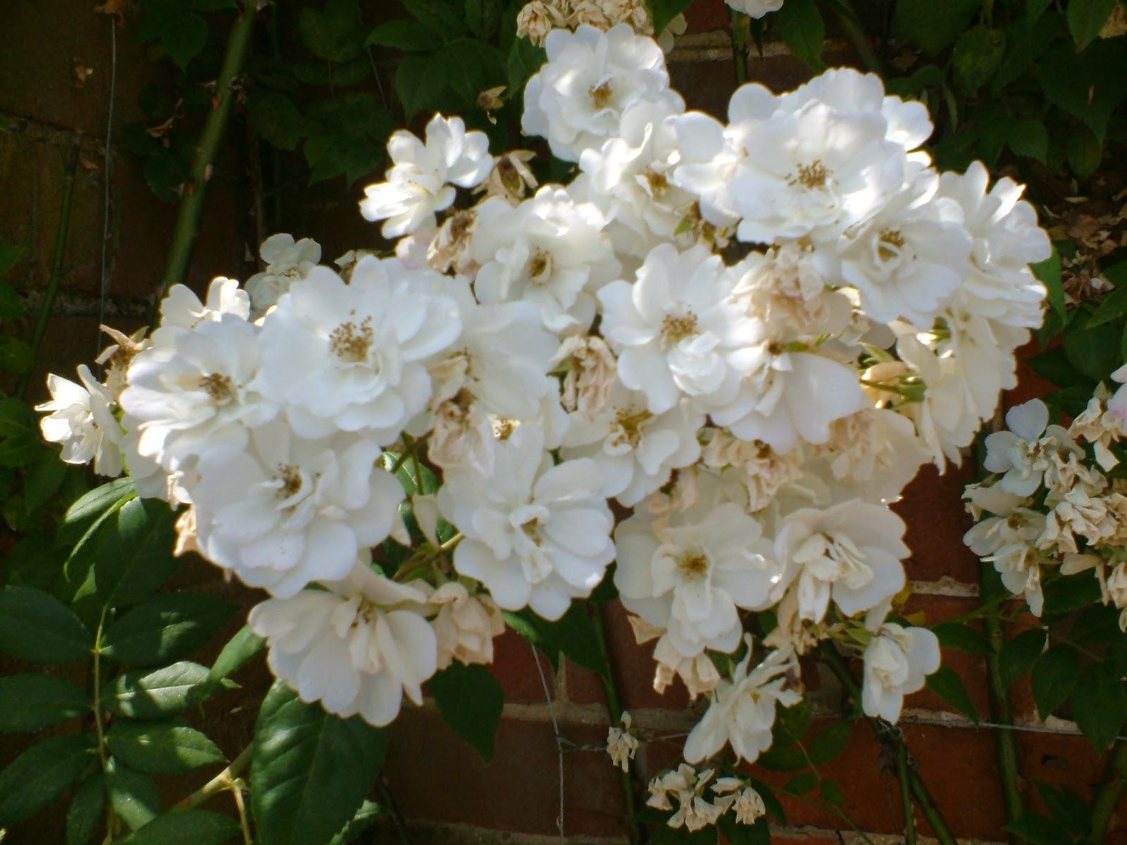 When Should I Prune Rambling Rector Rose