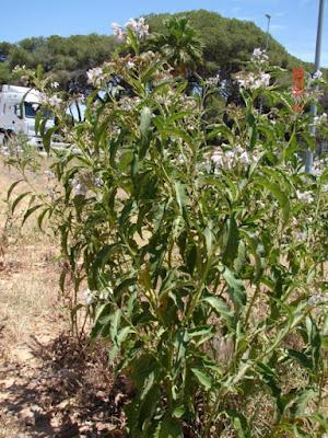 arbustos de argentina