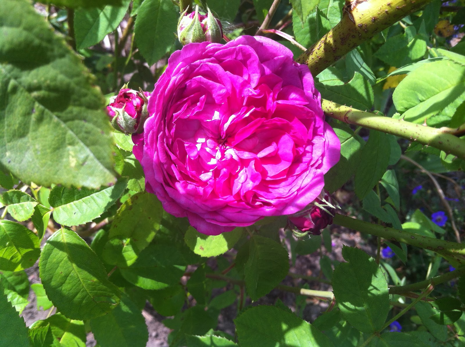 rose ayrshire queen