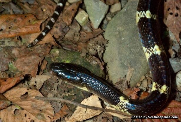 Ular Berjalur Banyak (Many Krait Snake)