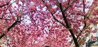 Kirschblüten Bonn Heerstrasse