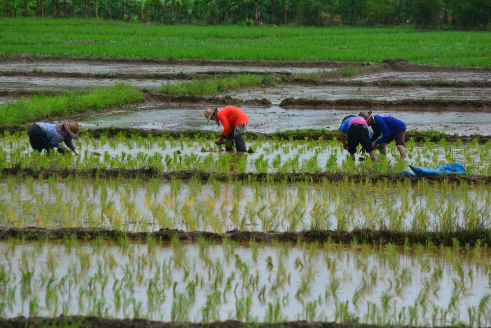 repiquage du riz en bordure du parc Thailande