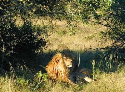 Löwen, Lion, Lions, lwy, Leones, nevezetességek, 獅子, Llewod, ライオン,  kuriozitete, løver, leijonat, λιοντάρια, la, Львы, vovi, Liūtai, iljuni, лавови, арсланЛавови