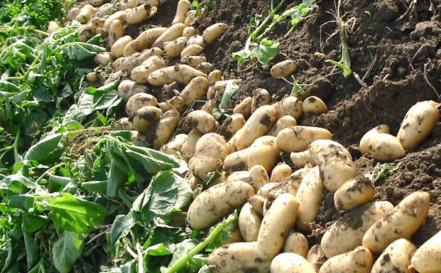 Patatas. Ingredientes. Historia.