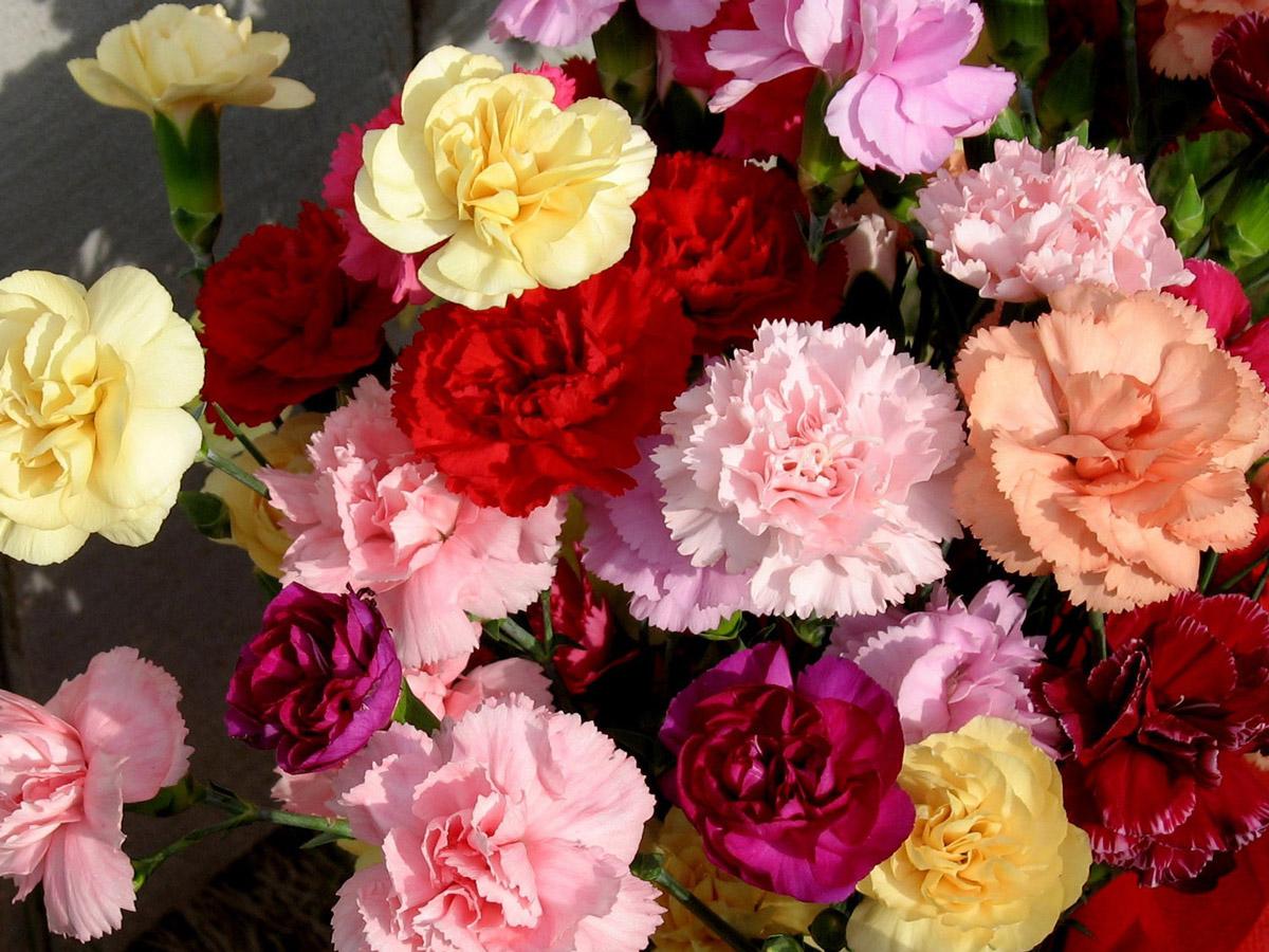 Hoa Cẩm Chướng rất được ưa chuộng tại Việt Nam