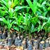 Cara Budidaya Pohon Pinang Secara Intensif