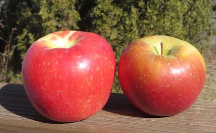 Honeycrisp and Evercrisp apples
