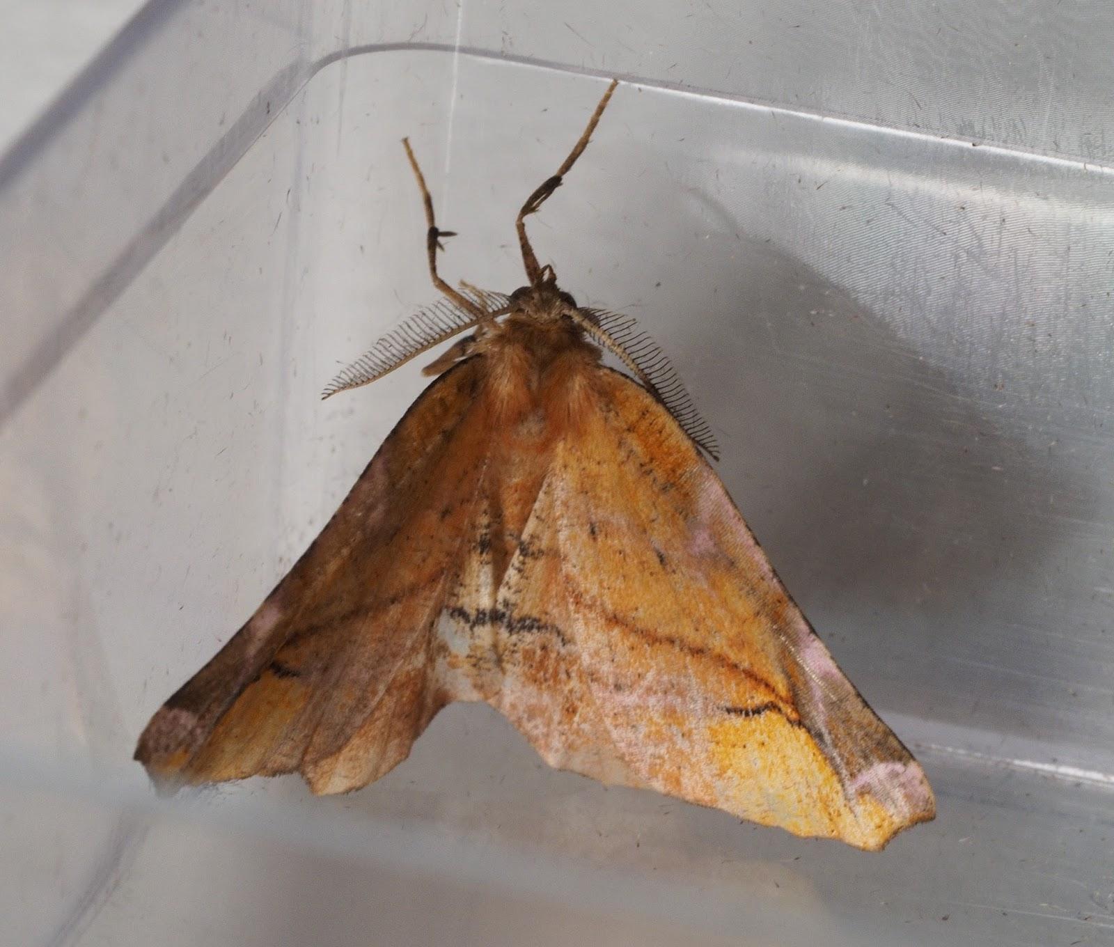 Upper Thames Moths: Some new garden moths and a query