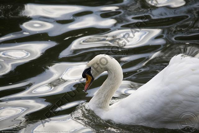 Mute swan swimming alone