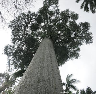 Queensland kauri, Agathis robusta Foster Botanical Garden