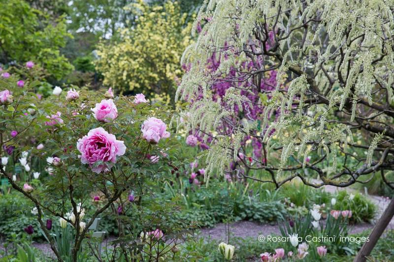 Peonías arbustivas en Hermannshof Park. Paeonia sp
