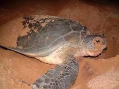 Kura-kura sedang Bertelur