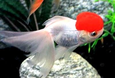Perbedaan Ikan Mas Koki Jantan dan Betina