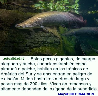 Descubren en Sudamérica una nueva especie de pez arapaima, uno de los más grandes del mundo