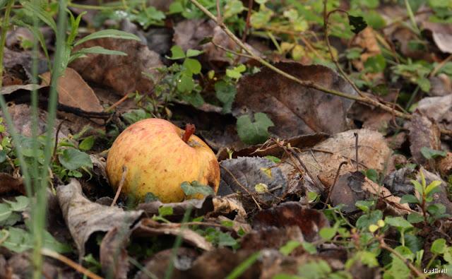 Pomme dans des feuilles mortes