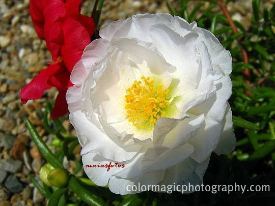 White moss-rose-close-up