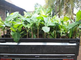 Buah Pisang cavendish menjadi kegemaran banyak orang karena enak dan menyehatkan. bibit pisang cavendish termasuk suku Musaceae dwarf atau pohon pisang jenis pendek. Tanaman pisang ini bagus pada daerah yang beriklim tropis dan tanah yang subur.