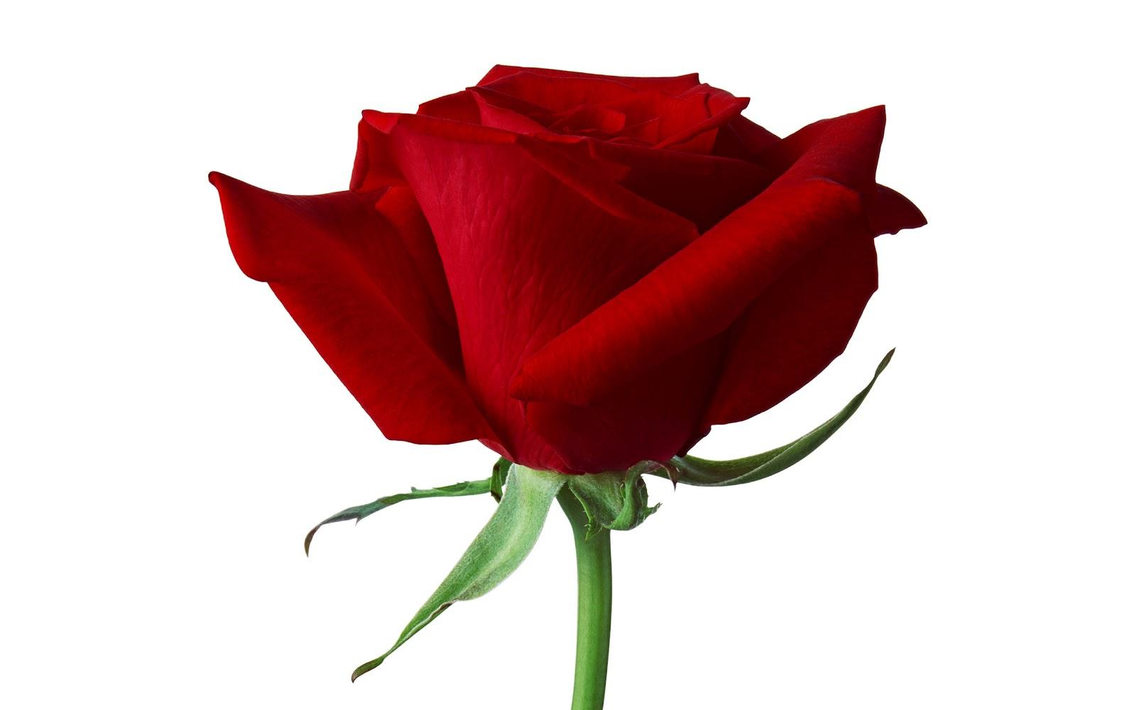 Hd Wallpapers Of Single Red Rose Adsleaf Com