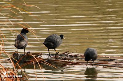 Tres ejemplares de focha común (Fulica atra) en una pequeña isla acicalando su plumaje una vez ha salido el sol.