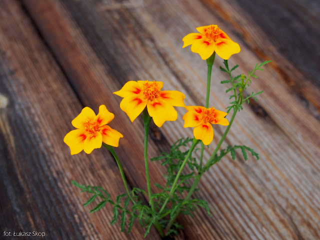 jadalne kwiaty aksamitki