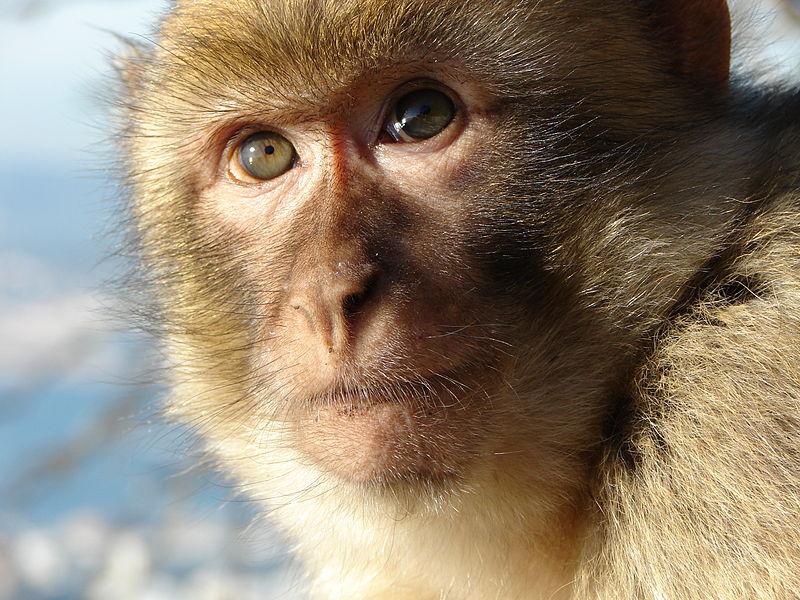 Mammals Animals: Gibraltar Barbary Macaque