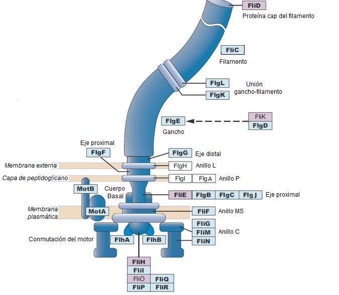 Detrás Del Código La Evolución Del Flagelo Bacteriano Algo