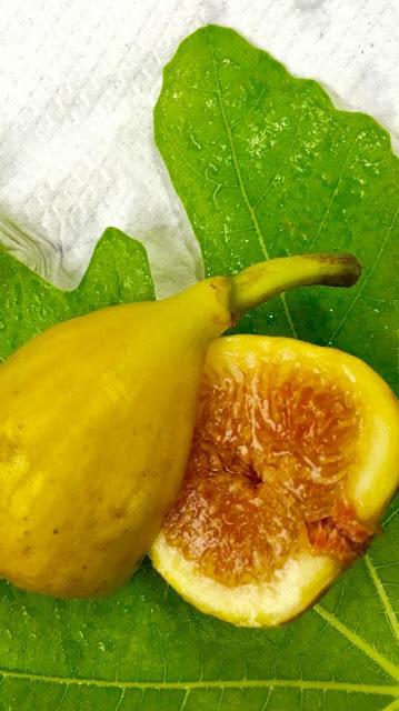 WHITE ISCHIA Figs