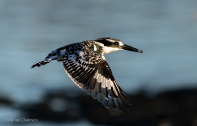 Copyright Vernon Chalmers: Birds in Flight Photography Canon EOS 7D Mark II - Woodbridge Island Cape Town