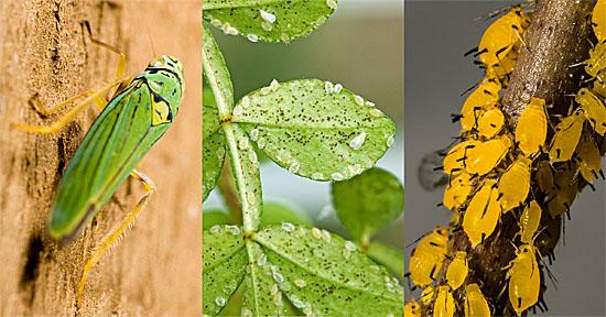 Insetos geneticamente modificados criados nos EUA podem espalhar doenças - Img1