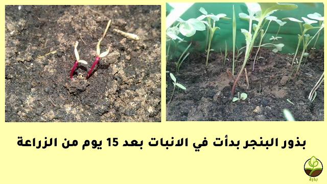 كيفية الزراعة و العناية بنبات الشوندر - فوائد البنجر