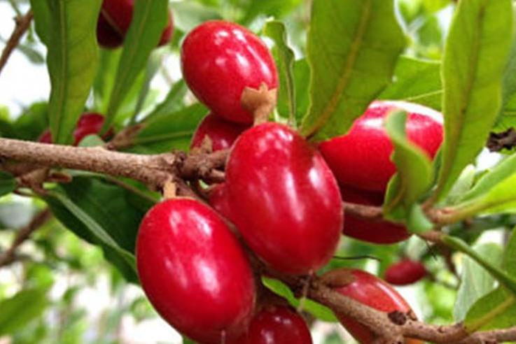 buah ajaib atau miracle fruit