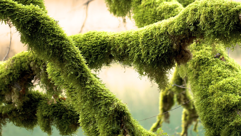 Green Mosses on Tree Branches