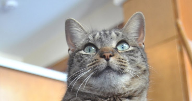 Size and Weight of American Shorthair - Annie Many