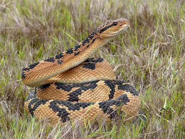 Bushmaster snake, Lachesis mutus